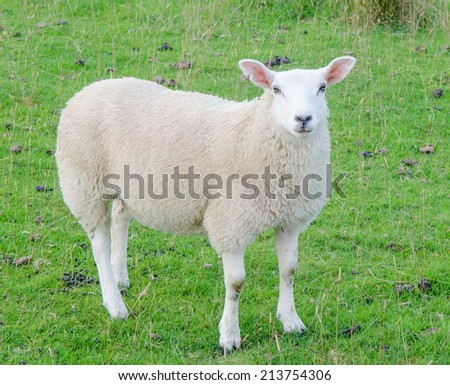 Single sheep in green field  - stock photo
