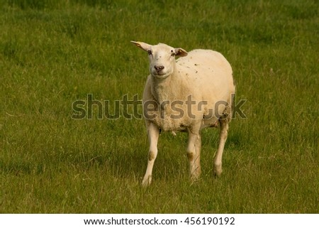 Single sheep looking at the camera standing in the grass near farmland - stock photo