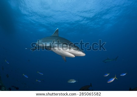 Single Silvertip Shark on Blue Background - stock photo