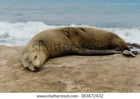 Single sleeping sea lion with healed scar side view - stock photo