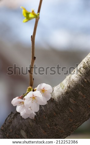 single small cluster of cherry blossoms on branch with blurred background - stock photo