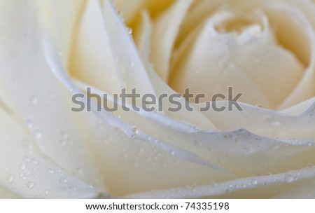 Single soft rose flower with dew drops close up