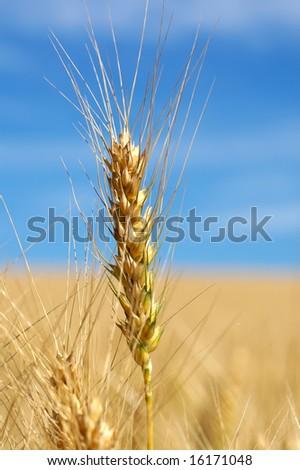 Wheat That Ready Harvest Stock Photo 16171051 - Shutterstock