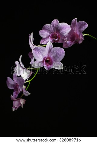 Single stem of orchid, diagonal perspective with one flower facing front - stock photo