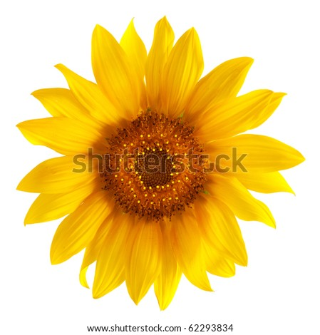 single sunflower head