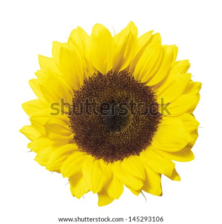Single sunflower head Isolated on white with clipping path