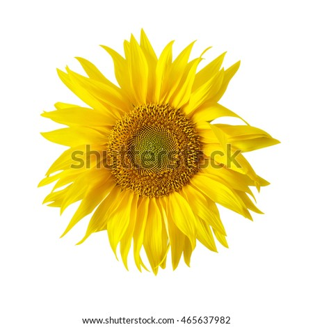 Single Sunflower on a white background.