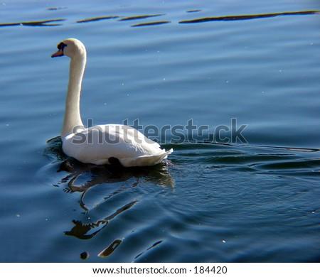 Single swan in water - stock photo
