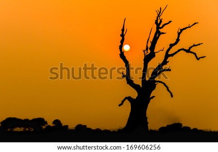 Single tree dying and the sunset