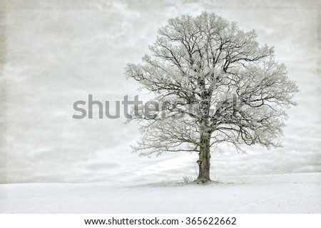 Single tree in winter covered with hoarfrost - stock photo