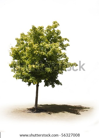 single tree on white background for easy cut out - stock photo