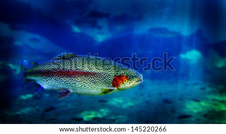 Single trout swimming in clear blue water in stream or lake - stock photo