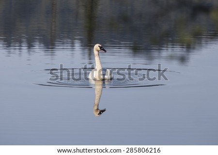 Single trumpeter swan in an Alaskan lake with reflections. - stock photo