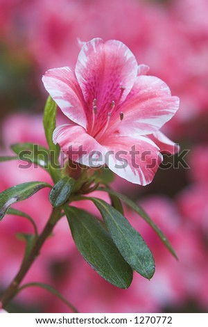 Single Variegated Azalea Bloom