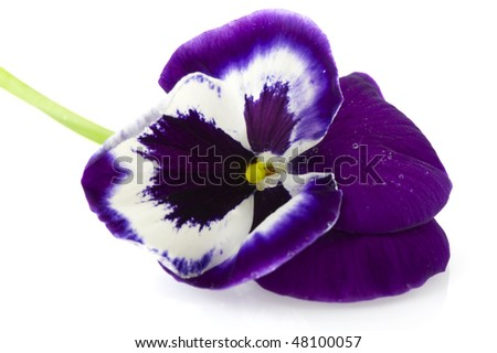 Single violet Viola Pansy in macro isolated over white