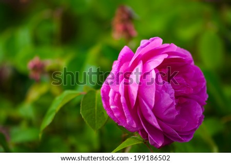 Single vivid pink rose and green background outdoor garden  - stock photo