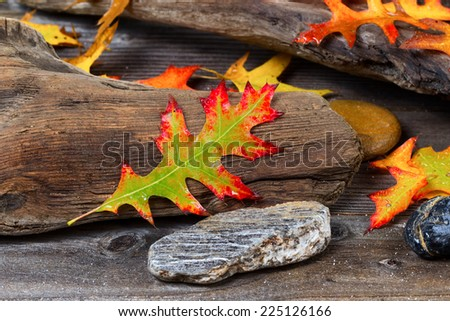 Single wet bright autumn oak leaf, front center, with aged driftwood and rocks in background - stock photo