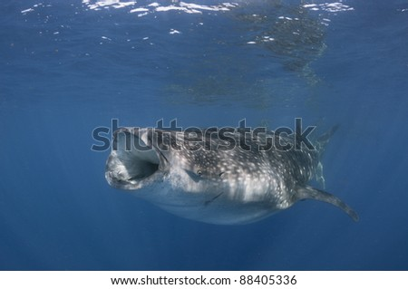 single whale shark feeds on plankton near surface - stock photo