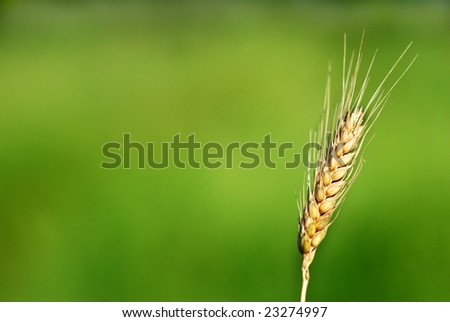 Single wheat ears against green background - stock photo