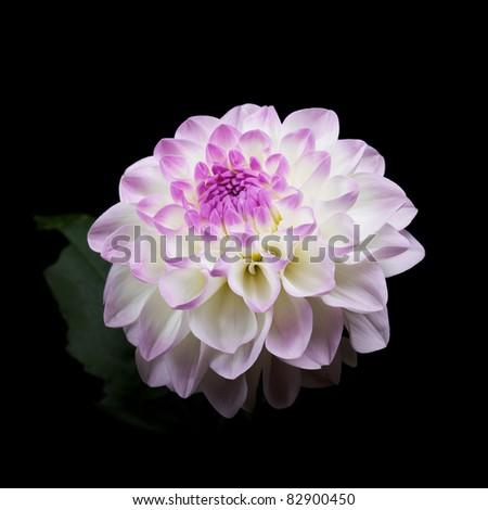 single white and pink dahlia isolated on black background - stock photo