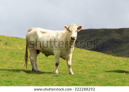 Single White-bred Shorthorn Cow standing on a Scottish hill side - stock photo