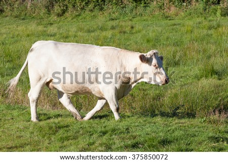 Single white Charolais beef cow walking through a lush green pasture in evening light, side view - cattle breeds series