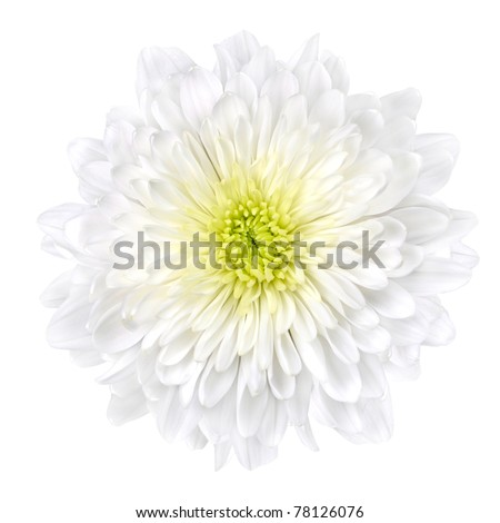 Single White Chrysanthemum Flower with Yellow Center Isolated over White Background. Beautiful Dahlia Flowerhead Macro - stock photo