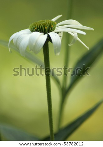 Single white daisy with green center and light green background. - stock photo