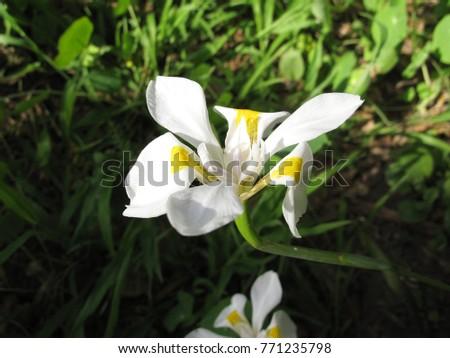 Single white flower dietes native south stock photo edit now single white flower of dietes native to south africa common name is wild iris mightylinksfo