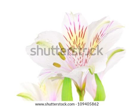 single white lily isolated on white background - stock photo