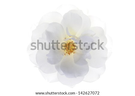 Single white rose head isolated on white background - stock photo