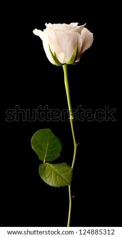 Single white rose on a black background - stock photo