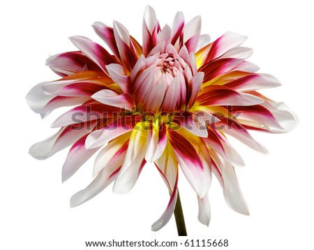 single white with red and yellow dahlia - stock photo