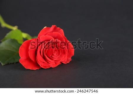 Single wonderful red rose on dark background - stock photo