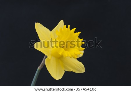Single yellow daffodil isolated on black background