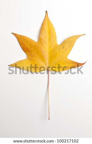 Single Yellow Liquidambar Tree Leaf - stock photo