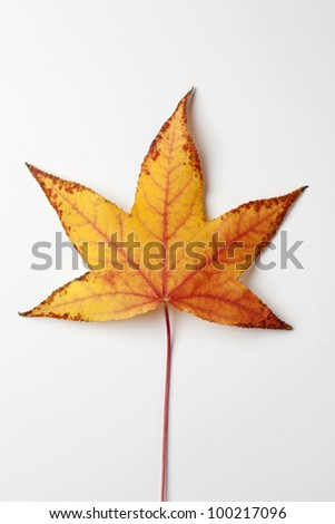 Single Yellow/Orange/Red Liquidambar Tree Leaf - stock photo