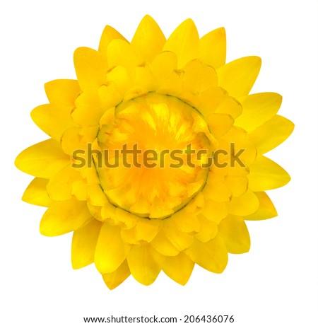 Single Yellow Strawflower, Blossoming Helichrysum bracteatum Isolated on White Background - stock photo
