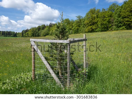 Single young sequoia with protective grid on a blooming meadow in spring near the forest edge  - stock photo
