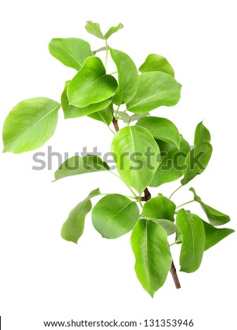 Single young sprout of apple-tree with green leafs. Isolated on white background. Close-up. Studio photography. - stock photo