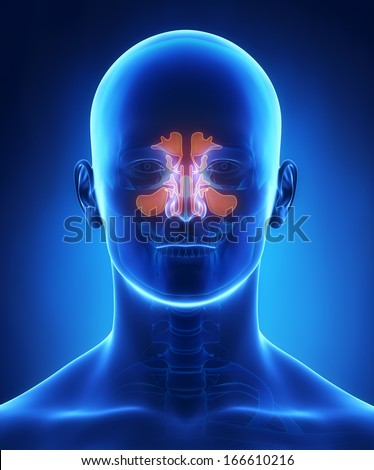 Sinus anatomy - stock photo