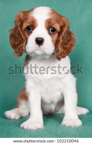 Sitting and looking forward puppy of a Cavalier King Charles spaniel