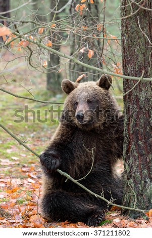 sitting big female of brown bear (Ursus arctos) in winter forest, Europe, Czech republic - stock photo