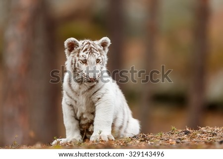 sitting cube white tiger