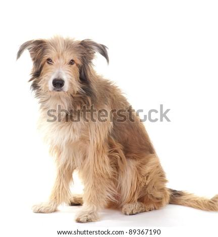 Sitting dog isolated on white background - stock photo