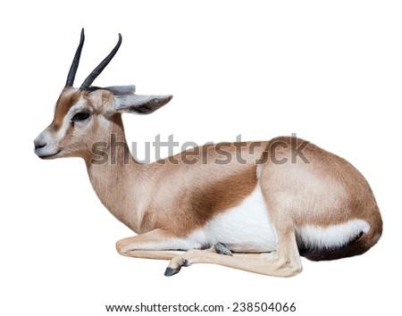 Sitting  dorcas gazelle (Gazella dorcas).  Isolated on white - stock photo