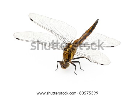 Sitting dragonfly against a white background - stock photo