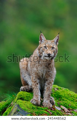 Sitting Eurasian wild cat Lynx on green moss stone in green forest in background - stock photo