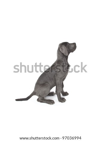 sitting great dane puppy isolated on white, sitting puppy - stock photo