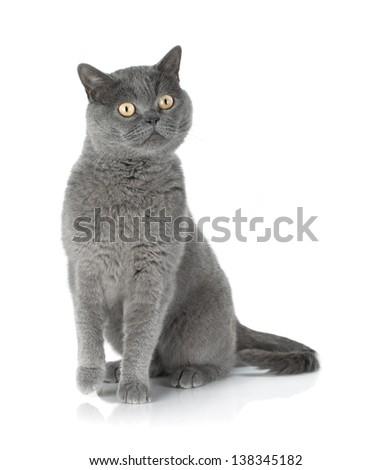Sitting grey cat. Isolated on white background - stock photo